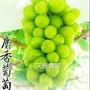 日本品種   麝香葡萄   枝條果苗  ( 限量商品 )