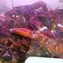 波士頓龍蝦 活體 加拿大進口 加拿大龍蝦