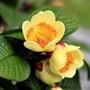 一禪種苗園-新月形的金黃色花<凹脈金花茶>喬木-6吋盆