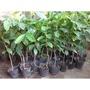 很好種的~阿拉比卡品種咖啡樹苗***種子育苗,非扦插苗***一棵50元