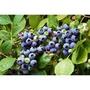 華順農園 /  平地可種植藍莓苗(暖帶藍莓) 自取優惠300