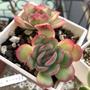 多肉植物-草莓冰雙頭3吋