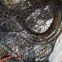 野生鱸鰻一斤1000
