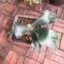 十二田植栽 深綠 鹿角蕨 P. hillii