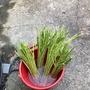 台灣綠蘆筍