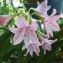 【種子花苗】粉紅孤挺花 | 球根 | 單瓣 | 花苗 | 園藝 | 植物