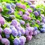 繡球花種子無盡夏繡球花花種子多年生混色庭院四季種易活種子