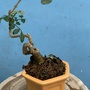 光臘樹     小盆栽(介質-日本赤玉土)