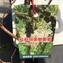 紅妃四季樹葡萄實生苗