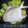 特選鮮嫩藍帶白鯧魚400g-500g/尾