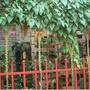 錦屏藤 夏日遮陽好植物 不掉葉常綠