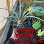 「珍奇植物」斑馬 空氣鳳梨Tillandsia hildae 空中植物 雨林植物