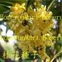 IX桂花種子40顆桂花籽桂花樹種子金桂種子丹桂種子沉香桂種子花卉種子包發芽綠化工程林木種子庭院種植陽台盆栽