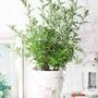 『森林有塊田』艾草(驅蟲)盆栽。台灣本土品種。有機防治。附肥料。白色盆。香草植物/香料植物/防蚊植物/防蟲植物/香草盆栽