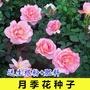 【植物】【新貨】【種子】玫瑰花種子 月季花種子薔薇花種子 四季易活 室內陽臺花卉 盆栽