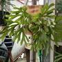 亞猴鹿角蕨,一尺盆上板