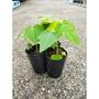 台農二號木瓜苗 蔬果苗 菜苗 水果苗 組織栽培苗 三吋盆 矮種 矮木瓜