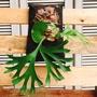 亞洲猴腦x皇冠/亞皇鹿角蕨/室內植物  含板