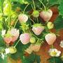 ↖白色草莓 (種子) 特價↗