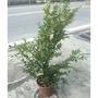 花囍園_水果苗—樹葡萄 (嘉寶果)--終年常綠~柔軟多汁/8吋高約40-60cm/售400特價375