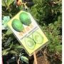 一禪種苗園-極高的營養價值<哈斯酪梨(嫁接苗)>水果苗- 4.5吋黑軟盆