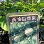 [種苗] 黃金百香果 苗