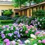 繡球花種子 盆栽花卉種子幸運花八仙繡球花種子變色花多色發芽率