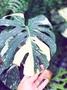 [蕨的想買就買] 斑葉龜背芋~斑葉電信蘭 龜背竹 Monstera deliciosa Variegata