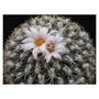 伊莎貝拉姣麗(gymnocactus ysabelae)種子20粒包裝~仙人掌多肉植物