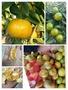 一口柑🍊珍珠柑