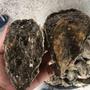 [東石鮮蚵總匯]帶殼蚵👍 肥美多汁 產地直銷