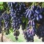 四季種植園藝藍寶石葡萄種子