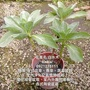 白水木盆栽/庭院造景綠美化首選植物
