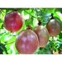 滿天星百香果種子 百香果種子 百香果 水果種子 (農產種子郵購站)