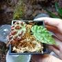 秋海棠 3D燒燙傷 begonia sp.