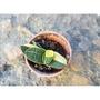 子寶錦(優選斑葉) 子寶 多肉植物《人森》百合科 像小元寶 可愛 1吋盆 迷你盆
