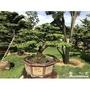 各種日式雕塑羅漢松/桂花/雞蛋花/松樹類等庭園盆栽