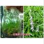 永安蘭園 蘭花 瓶苗 台灣原生種 綬草 清明草