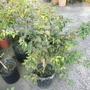 四季樹葡萄、實生苗