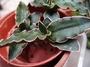 仙人掌&多肉植物--對生虎尾蘭