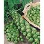 孢子甘藍種子 孢子甘藍 孢子高麗菜種子 孢子高麗菜 蔬菜種子 (農產種子郵購讚)