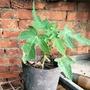 木瓜苗 自產自銷 矮種