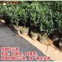 杜鵑紅山茶花盆栽帶花苞四季開花庭院陽臺名貴高檔花卉綠植綠