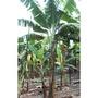 香蕉苗 台蕉5號 玉山 目前台灣最新品種