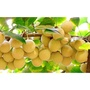 【Star美國代購】Trunature Biloba Ginkgo fruit 120 銀杏果 300顆