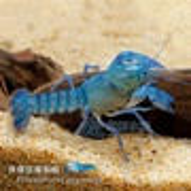 【AC草影】侏儒惡魔螯蝦(對蝦)【一對】