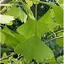 元茂園藝龍潭聖亭路園區 銀杏 八年盆栽 樹型很美 每單位一盆 宅配限北部地區一樓