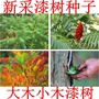 (種子花園)高產漆樹種子 野生 原生油漆樹種子 列加氏金 大小木漆樹種子