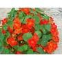 旱荷花種子 旱金蓮種子 四季易種室內陽臺盆栽花卉花籽
