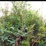 樹葡萄苗  實生苗,高60公分,一箱可放10棵。